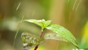 Τροπικό περιβάλλον φύσης φυλλώματος εγκαταστάσεων σταγόνων βροχής φιλμ μικρού μήκους