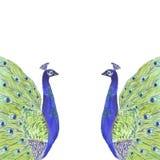 Τροπικό πλαίσιο σύνθεσης Watercolor με τα πουλιά peacock διανυσματική απεικόνιση