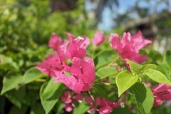 Τροπικό πορφυρό χρώμα λουλουδιών Στοκ Εικόνα