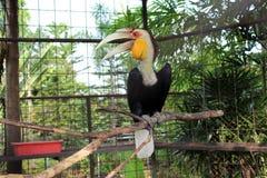 Τροπικό πουλί Hornbill της Ινδονησίας Στοκ Φωτογραφίες