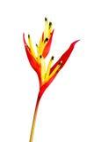 Τροπικό πουλί λουλουδιών του παραδείσου Στοκ Εικόνα