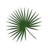 Τροπικό πράσινο εικονίδιο ε φοινίκων rotundifolia livistona φύλλων φοινικών Στοκ Εικόνες