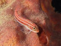 Τροπικό ριγωτό triplefin ψαριών κοραλλιών Στοκ Φωτογραφίες