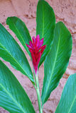 Τροπικό ροδανιλίνης λουλούδι πιπεροριζών Στοκ φωτογραφίες με δικαίωμα ελεύθερης χρήσης