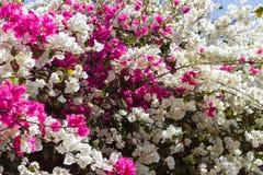 Τροπικό ρόδινο και άσπρο υπόβαθρο λουλουδιών bougainvillea Στοκ Φωτογραφία