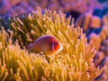 Τροπικό ρόδινο clownfish ψαριών Στοκ Εικόνες