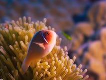 Τροπικό ρόδινο clownfish ψαριών Στοκ Φωτογραφία