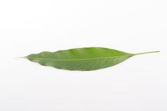 Τροπικό ταϊλανδικό φύλλο μάγκο στοκ εικόνα