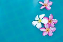 Τροπικό υπόβαθρο λουλουδιών Plumeria Frangipani στην μπλε κολύμβηση Στοκ φωτογραφία με δικαίωμα ελεύθερης χρήσης