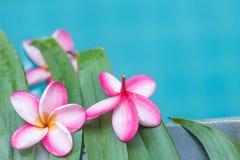 Τροπικό υπόβαθρο λουλουδιών Plumeria Frangipani Στοκ εικόνα με δικαίωμα ελεύθερης χρήσης
