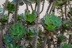 Τροπικό φυτό με τα φύλλα ροζέτων Στοκ Εικόνες