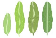 Τροπικό φυτό, φύλλο μπανανών που απομονώνεται στο άσπρο υπόβαθρο Στοκ Φωτογραφίες