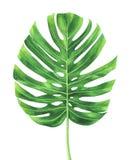 Τροπικό φύλλο του φυτού Monstera που απομονώνεται στο άσπρο υπόβαθρο Στοκ Φωτογραφία