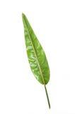 Τροπικό φύλλο φυτών strelitzia πράσινο Στοκ εικόνες με δικαίωμα ελεύθερης χρήσης