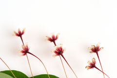 Τροπικό φύλλο-λουλούδι (Phyllanthus pulcher Wallich πρώην Muell Arg ) Στοκ Εικόνες