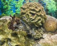 Ψάρι-με ραβδώσεις Στοκ Εικόνα