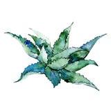 Τροπικό aloe φύλλων της Χαβάης δέντρο σε ένα ύφος watercolor που απομονώνεται Απεικόνιση αποθεμάτων