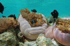 Τροπικό anemone θάλασσας ψαριών anemonefish υποβρύχιο Στοκ Εικόνα