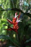 Τροπικό angusta heliconia εγκαταστάσεων με τον κόκκινο οφθαλμό λουλουδιών Στοκ φωτογραφία με δικαίωμα ελεύθερης χρήσης