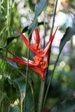 Τροπικό angusta heliconia εγκαταστάσεων με τον κόκκινο οφθαλμό λουλουδιών Στοκ Φωτογραφία