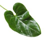 Τροπικό Anthurium φύλλο Στοκ Εικόνα
