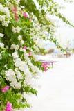 Τροπικό bougainvillea λουλουδιών στο υπόβαθρο παραλιών Στοκ Εικόνα