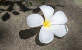 Τροπικό frangipani λουλουδιών στην πέτρα Στοκ φωτογραφίες με δικαίωμα ελεύθερης χρήσης