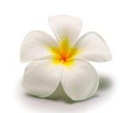 Τροπικό frangipani λουλουδιών στο άσπρο backgro Στοκ εικόνα με δικαίωμα ελεύθερης χρήσης