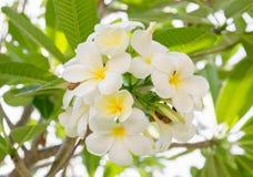 Τροπικό frangipani λουλουδιών Στοκ φωτογραφία με δικαίωμα ελεύθερης χρήσης