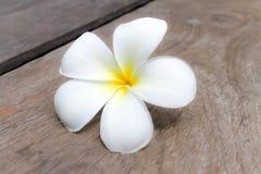Τροπικό frangipani λουλουδιών Στοκ Φωτογραφία
