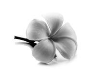Τροπικό frangipani λουλουδιών (plumeria) γραπτό Στοκ εικόνα με δικαίωμα ελεύθερης χρήσης