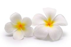 Τροπικό frangipani λουλουδιών (plumeria) στο άσπρο υπόβαθρο Στοκ εικόνες με δικαίωμα ελεύθερης χρήσης
