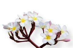 Τροπικό frangipani λουλουδιών (plumeria) στο άσπρο backgro Στοκ Εικόνα