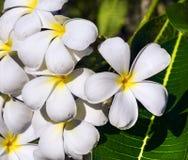 Τροπικό frangipani λουλουδιών (plumeria) Στοκ φωτογραφίες με δικαίωμα ελεύθερης χρήσης