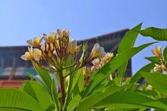 Τροπικό frangipani Plumeria λουλουδιών και βουδιστική στέγη μοναστηριών σε Lumbini Στοκ Εικόνα