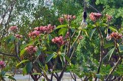 Τροπικό frangipani Plumeria λουλουδιών και lightbulbs Στοκ Φωτογραφία