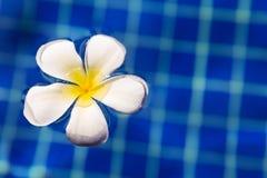Τροπικό frangipani plumeria λουλουδιών στην πισίνα Στοκ Εικόνες