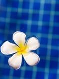 Τροπικό frangipani plumeria λουλουδιών στην πισίνα Στοκ Εικόνα