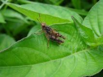 Τροπικό grasshopper Στοκ φωτογραφίες με δικαίωμα ελεύθερης χρήσης