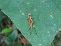 Τροπικό grasshopper Στοκ Φωτογραφία