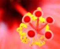 Τροπικό hibiscus μακρο κόκκινο λουλουδιών Στοκ Εικόνες