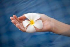 Τροπικό plumeria λουλουδιών στο χέρι γυναικών Στοκ Φωτογραφία
