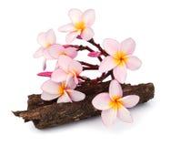 Τροπικό plumeria frangipani λουλουδιών που απομονώνεται στο άσπρο υπόβαθρο Στοκ εικόνες με δικαίωμα ελεύθερης χρήσης