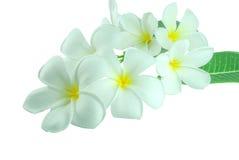 Τροπικό plumeria frangipani λουλουδιών που απομονώνεται στο λευκό Στοκ εικόνες με δικαίωμα ελεύθερης χρήσης