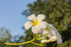 Τροπικό plumeria frangipani λουλουδιών Στοκ Φωτογραφίες