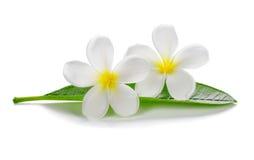 Τροπικό plumeria frangipani λουλουδιών Στοκ φωτογραφία με δικαίωμα ελεύθερης χρήσης