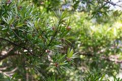 Τροπικό Podocarpus δέντρο με τα ωριμασμένα φρούτα Στοκ Φωτογραφίες