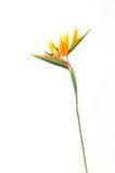 Τροπικό strelitzia φυτών με τα χρώματα Στοκ Φωτογραφία