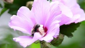 Τροφές μελισσών με ένα λουλούδι απόθεμα βίντεο