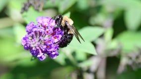 Τροφές μελισσών με ένα λουλούδι φιλμ μικρού μήκους